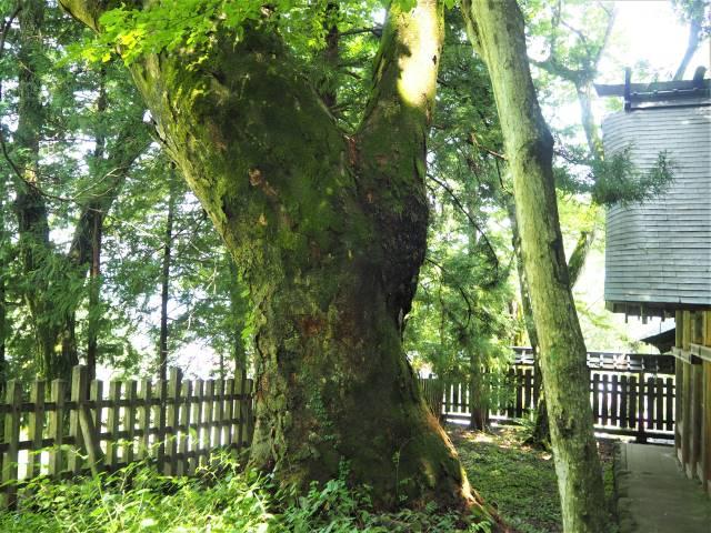 ヒノキの古木