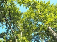 光に映えるぎんどろの木