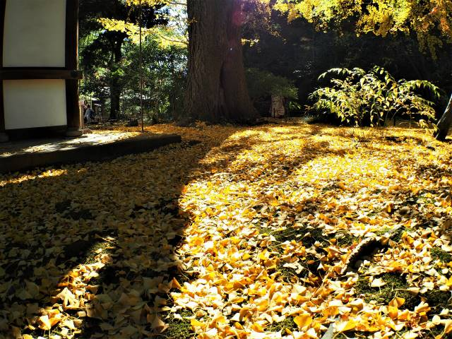 イチョウ落葉の絨毯