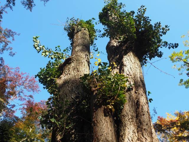 イチョウの木の上