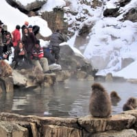 温泉サルを見る観光客