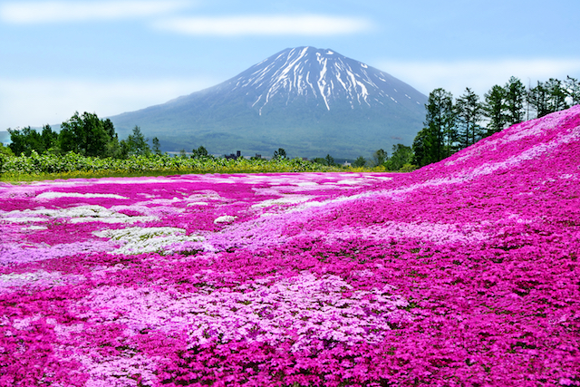 北海道倶知安町三島さんの芝ざくら庭園