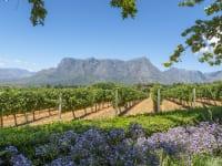 南アフリカのブドウ畑