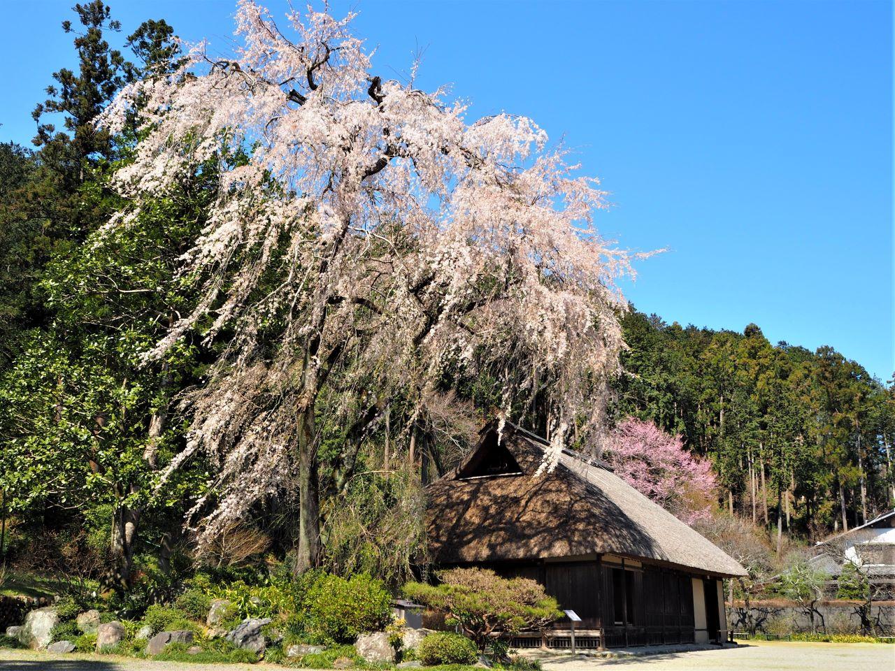 しだれ桜と高麗家住宅