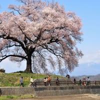 わに塚の桜遠望