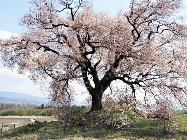 別方向から桜