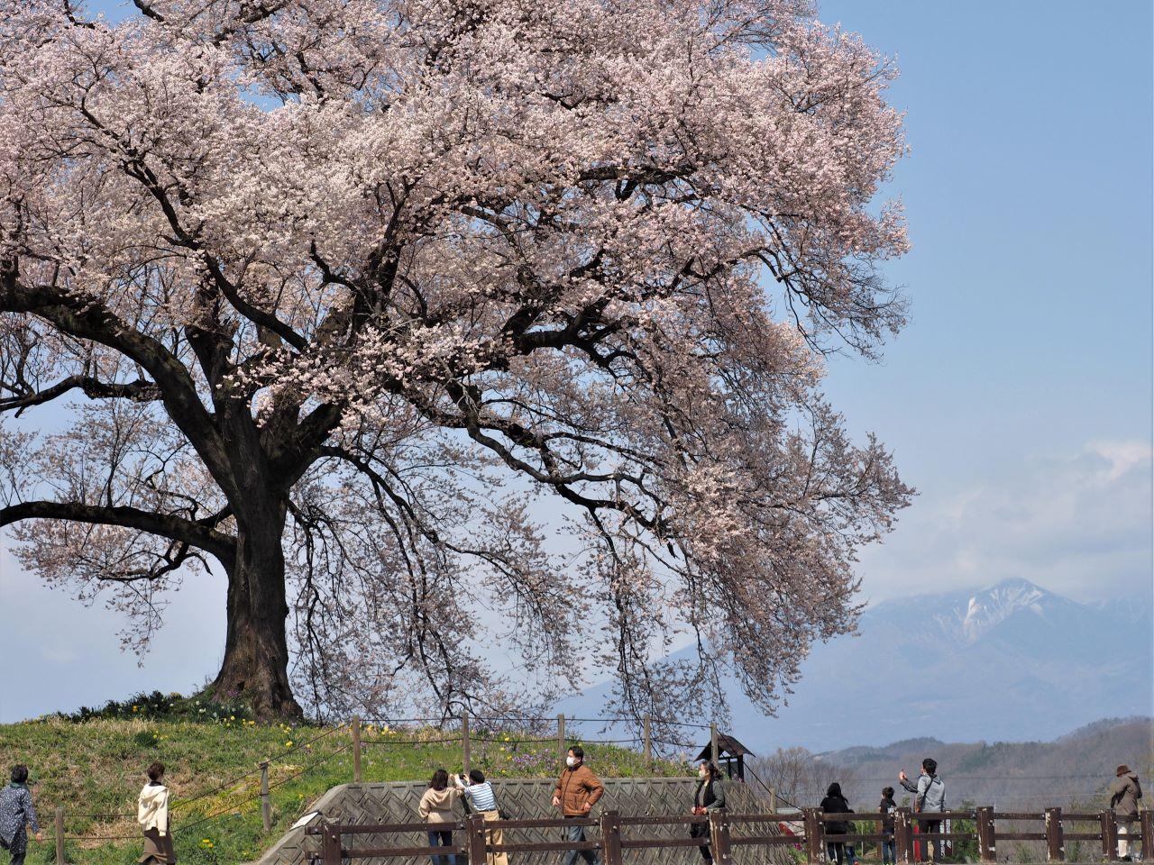 わに塚の桜と八ヶ岳