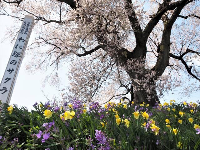 根元の花と桜の木