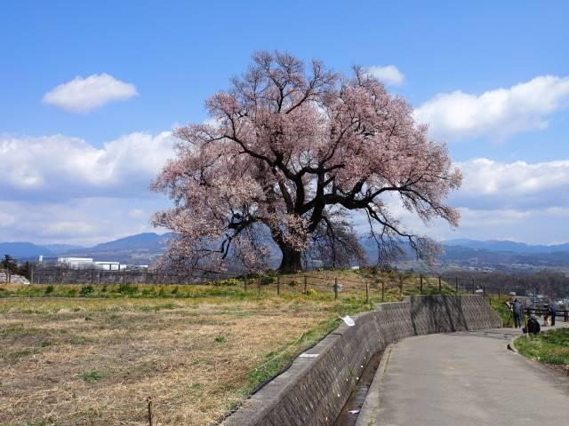 桜に近づく