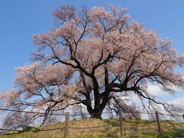 桜見上げる