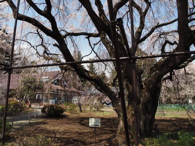 育成中の桜