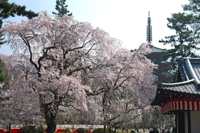 醍醐寺 五重塔と桜