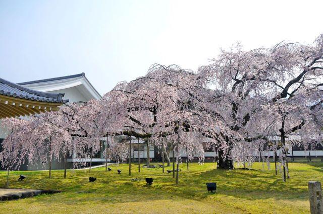 醍醐大しだれ桜