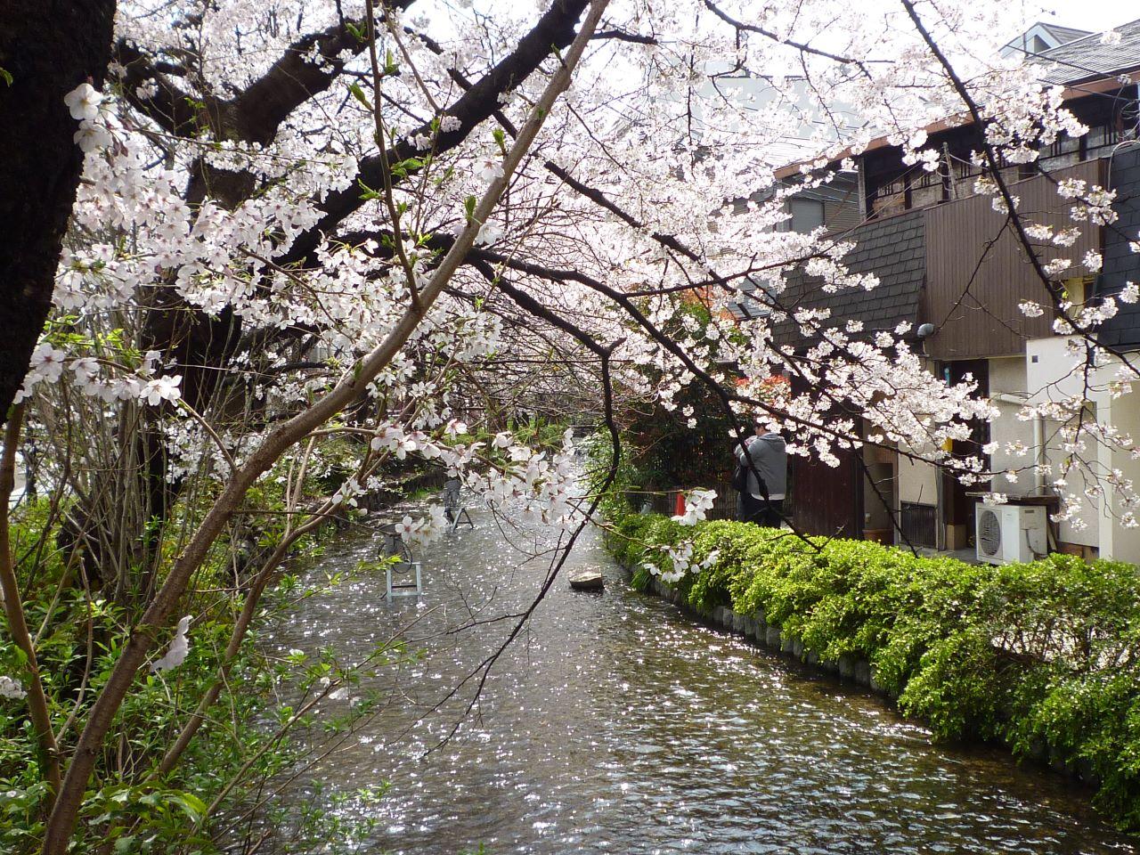 川間食堂 高瀬川の桜