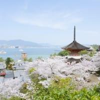 広島県宮島の桜