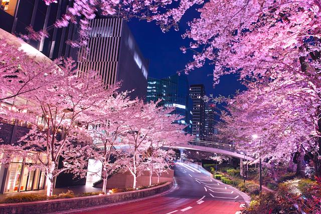 東京都港区東京ミッドタウンの夜桜