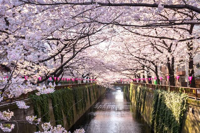 東京都目黒区目黒川の桜