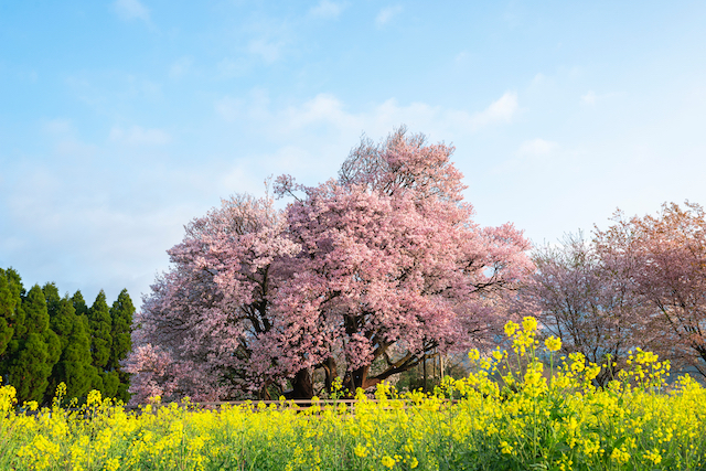 熊本県阿蘇郡一心行の大桜