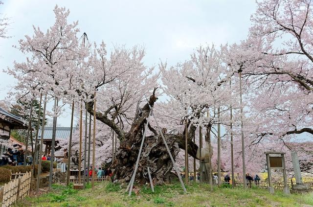山梨県北杜市山高神代桜