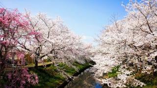 奈良県奈良市「佐保川の桜並木」満開の桜
