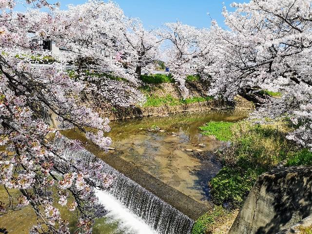 奈良県奈良市「佐保川の桜並木」川縁