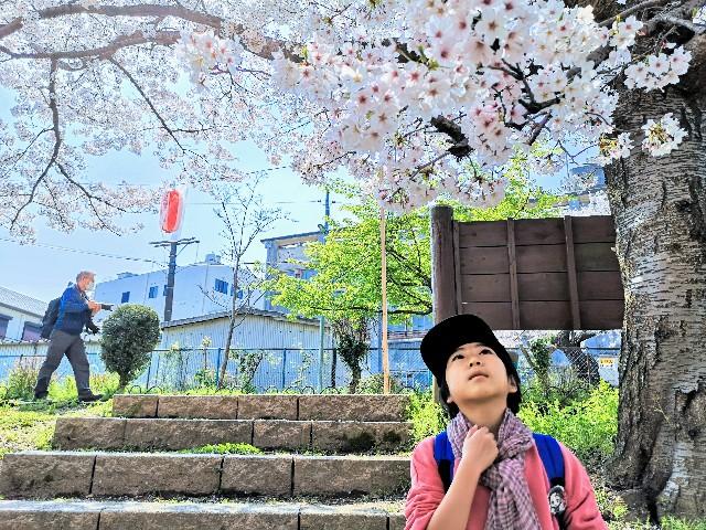 奈良県奈良市「佐保川の桜並木」見物客