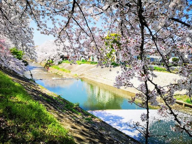 奈良県奈良市「佐保川の桜並木」花筏