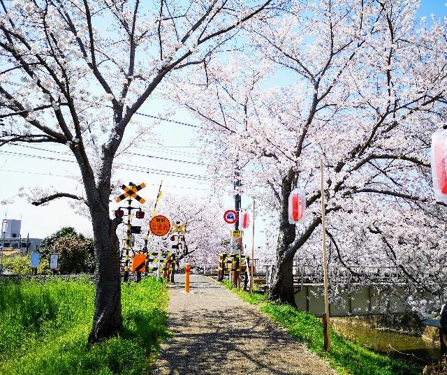 奈良県奈良市「佐保川の桜並木」踏切前