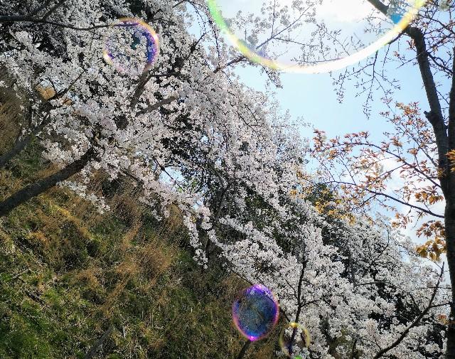 奈良・奈良市「鴻ノ池運動公園」桜