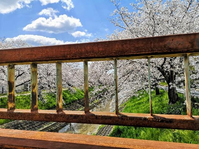 奈良県奈良市「佐保川の桜並木」橋の上