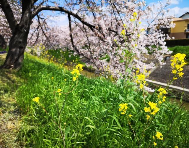 奈良県奈良市「佐保川の桜並木」と菜の花
