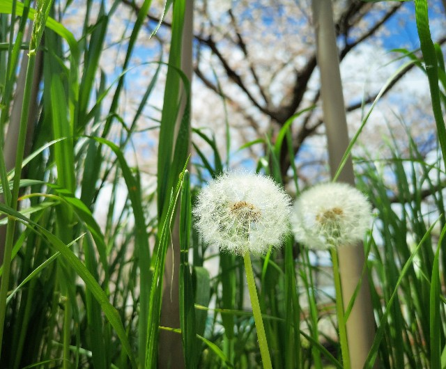 奈良県奈良市「佐保川の桜並木」桜とたんぽぽ