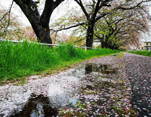 奈良県奈良市「佐保川の桜並木」雨の日