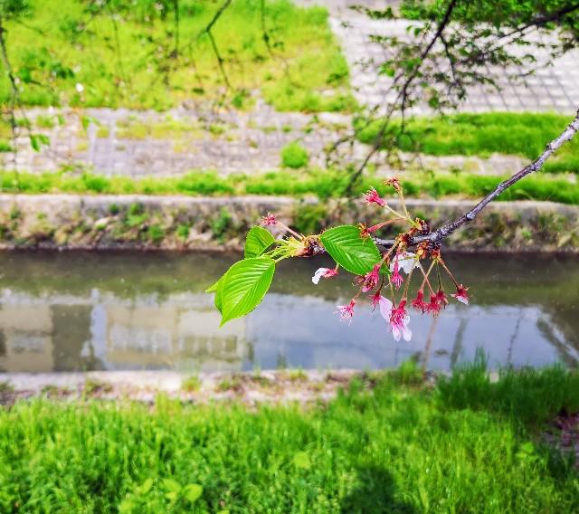 奈良県奈良市「佐保川の桜並木」咲き終わり