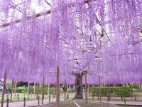 愛知県津島市天王川公園の藤