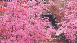 愛知県豊川市富士神社周辺のツツジ