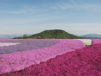 愛知県豊根村茶臼山高原の芝桜