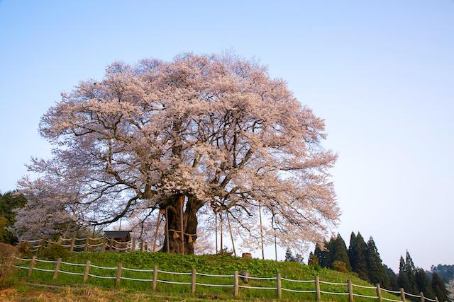 岡山県真庭市醍醐桜