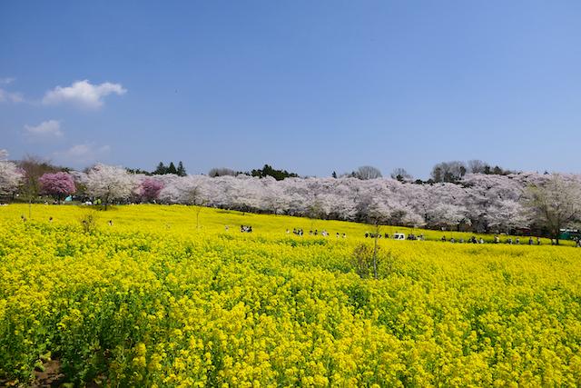 群馬県前橋市赤城南面千本桜