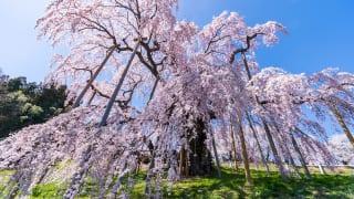 福島県三春滝桜