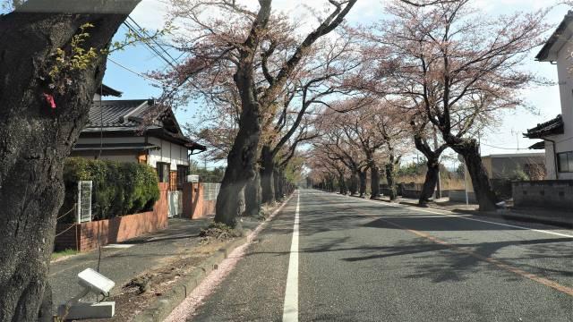 桜並木通り