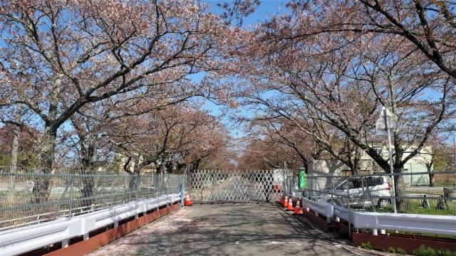 ゲートと桜並木