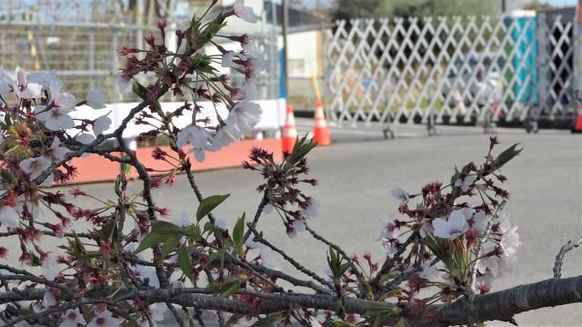 桜越しゲート