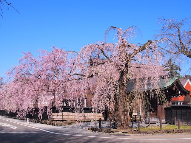 秋田県仙北市角館のシダレザクラ