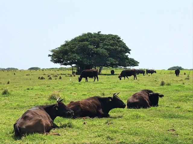 黒島 牧場
