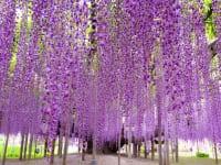 栃木県足利市あしかがフラワーパーク