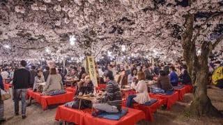 京都市円山公園の花見