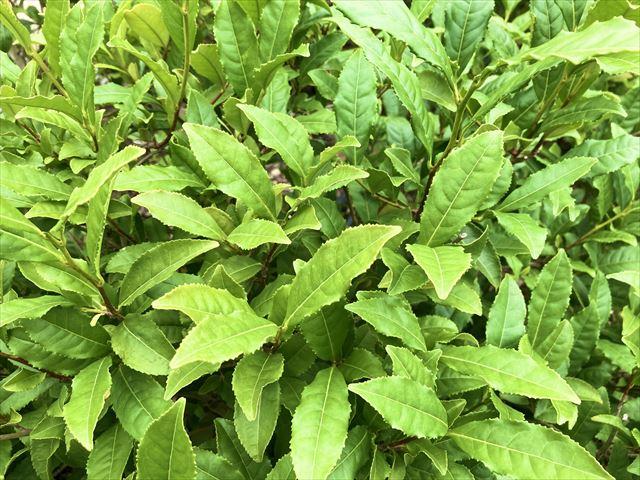 界 遠州 つむぎ茶畑