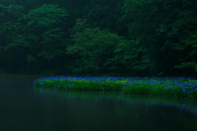 滋賀県高島市カキツバタ群生地
