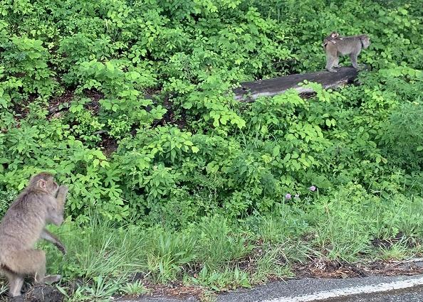 ANA ホリデイ・インリゾート信濃大町くろよん付近で見たサルの群れ